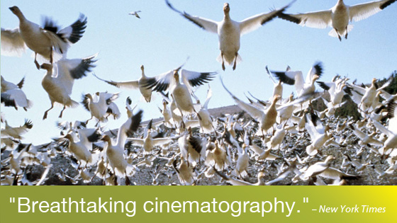 Image from The Animal Kingdom: Winged Migration